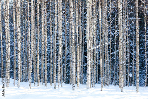 Snowy birches - 47083096