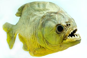 Piranha Lateral