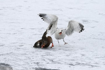 Seagull and duck - the fight for food.