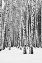 Birkenwald im Winter in schwarz und weiß