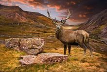 Kronhjort stag i lynnig dramatiska berg, solnedgång, landskap