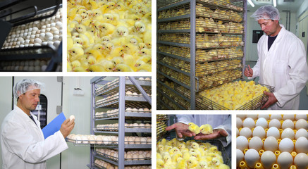 Chicken Farm - Incubator, Eggs and Baby Chicken