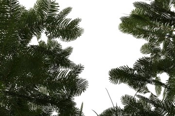 Branches of a pine tree