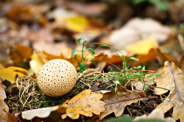 Puffball in autumn foliage
