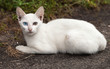 Stray White Cat with Different-colored Eyes