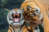Sumatran Tigers - 47104883