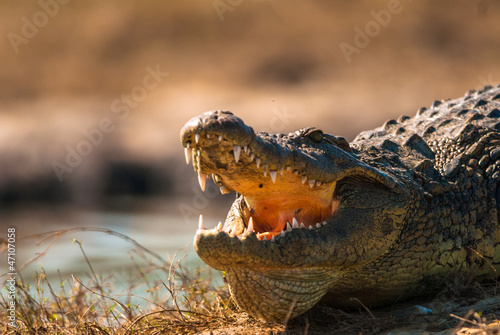 Crocodile baring teeth Poster
