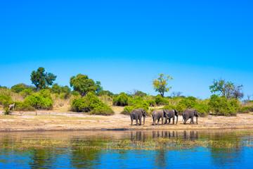 Group of elephants walking