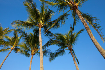 A group of palm trees in the morning sunlight against a blue sky