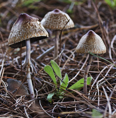Three mushrooms on the forest floor