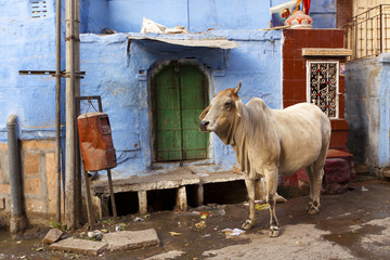 Cow in the blue city, Jodhpur, Rajasthan.