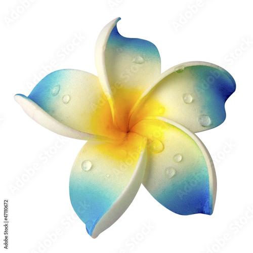 fleur bleue de frangipanier