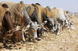 Nagaur Cattle Fair, Rajasthan,