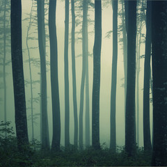 Mystic foggy beech forest