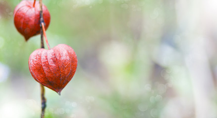 Bokeh nature background - Physalis(Chinese Lantern)
