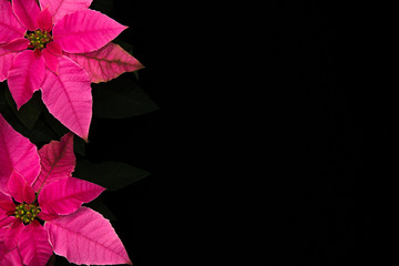 Pink Poinsettia Border Isolated Black