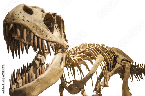 Tyrannosaurus skeleton over white isolated background