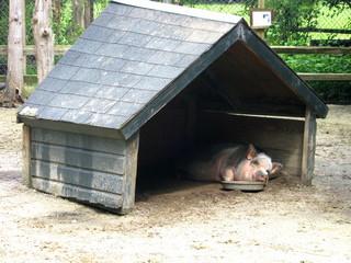 Pig who is sleeping.