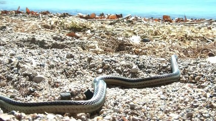 Snake on Beach in Sun - Slithers Away