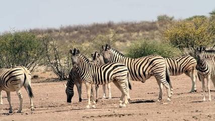 zebra kalahari