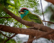 Bird, Blue-throated Barbet perched on a tree branch