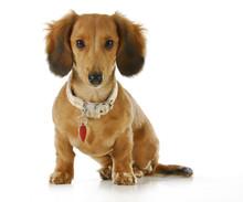 Pies ma na sobie kołnierz i tag