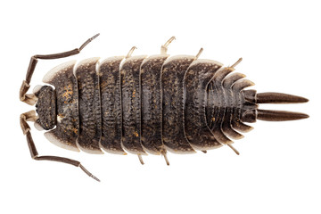 woodlouse species porcellio scaber