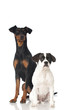 Two dogs - Zwei Hunde