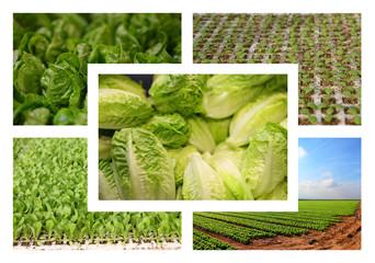 salatanbau wachstumsstufen