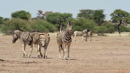 zebra kalahari 2