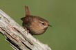 Winter Wren (Troglodytes) On A Branch