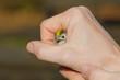 Regolo nella mano dell'ornitologo