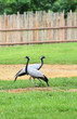 A couple of Demoiselle Crane Bird on the grass