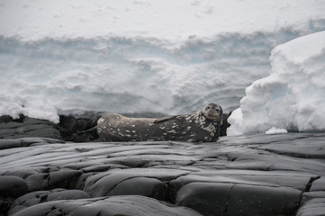 Antarctic Weddell seal in wild nature