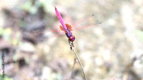 Crimson dragonfly spread the wings, trithemis aurora.