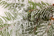 Spruce covered with snow