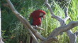 Scarlet Macaw on a tree branch