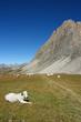 Rocca Meja branco di mucche piemontesi al pascolo