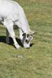 Mucca piemontese bianca, pascolo brado