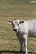 Vitello di mucca piemontese bianca, pascolo brado