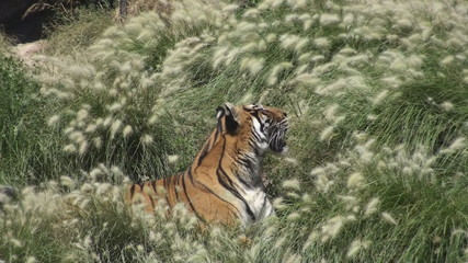 Tiger siesta