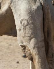 Brand marking on a dromedary camel