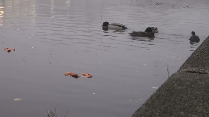Duck eats fast food debris on the pond