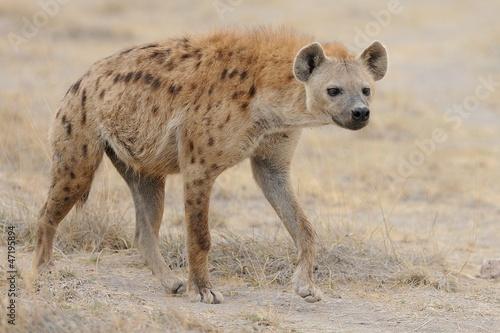 Canvas Hyena Iena Maculata