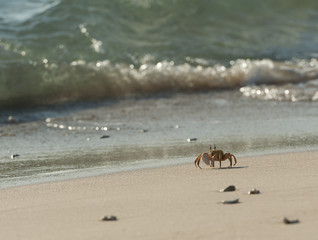 Red Sea ghost crab on the beach