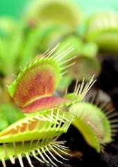 Carnivorous plant, Venus flytrap ( Dionaea muscipula ),