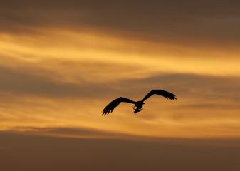 Large hunting osprey bird in flight at sunset