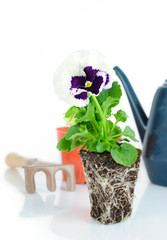 Purple Pansy Flower Root Ball and Gardening Tools