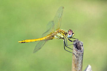 libellula macro su sfondo prato verde