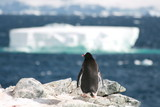 Gentoo penguin waiting for his companion